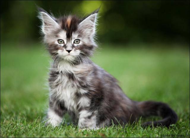 Необычная порода кошачьих - котята Мейнкунов