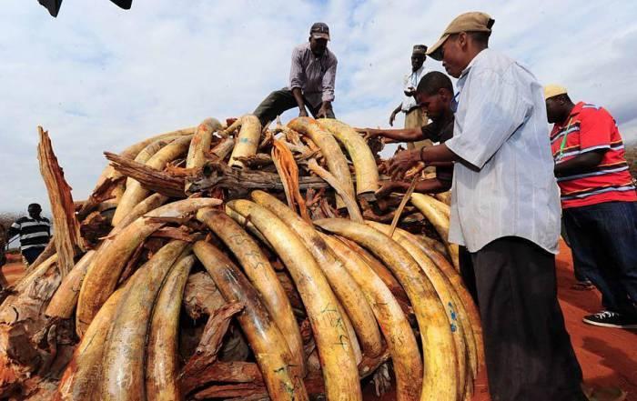 В Кении сожгли пять тонн слоновой кости (13 фото)