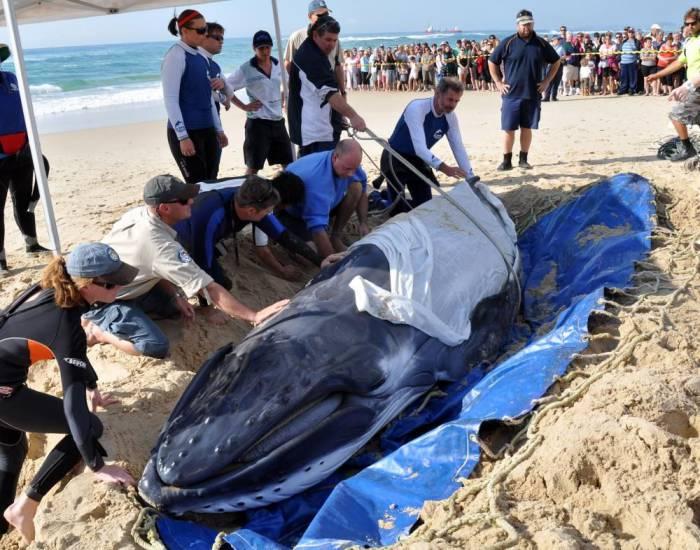Спасение кита (4 фото)