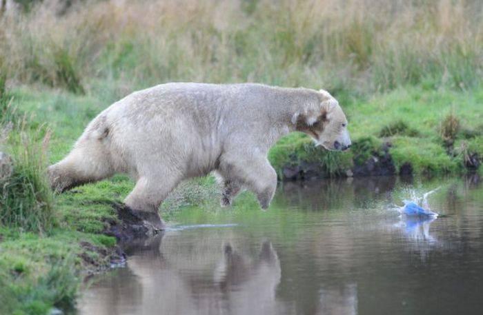 Медведь играет со строительным шлемом
