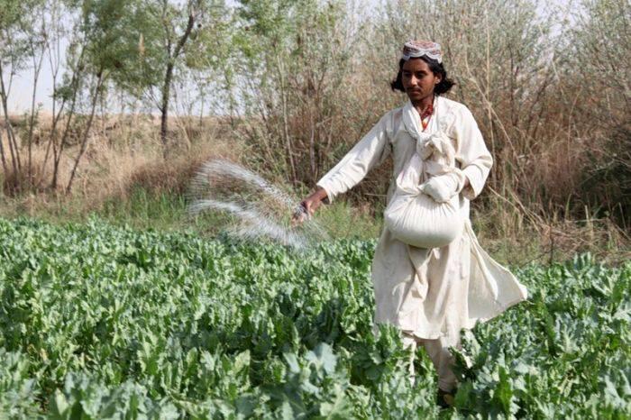 Маковое поле грез Афганистана (38 фото)