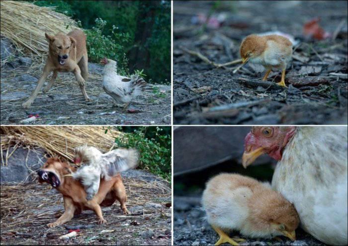 Курица отметелила пса (3 фото)