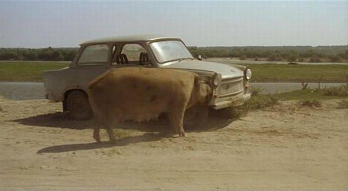 Голодная свинка (5 фото)