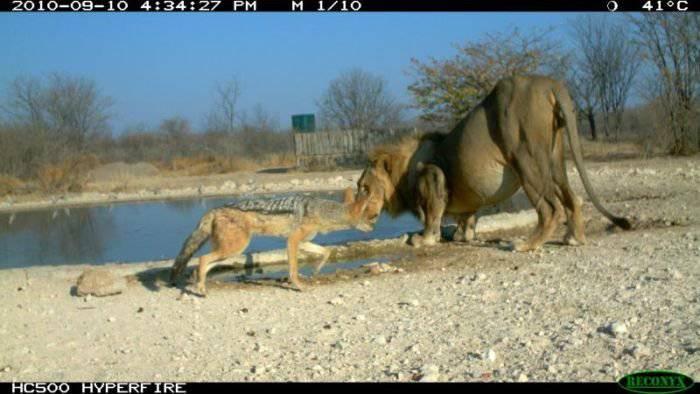 Шакал напал на льва (10 фото)