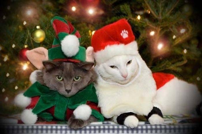 Новогодние котики (108 фото)
