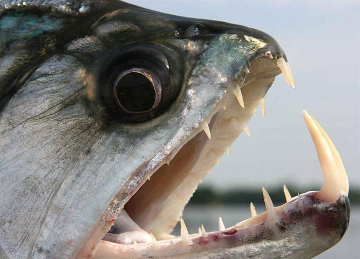 Самые страшные рыбы на земле 111 фото