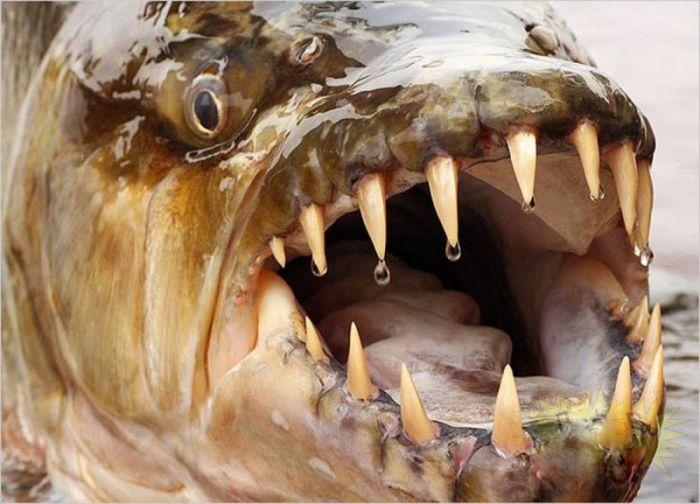 Монстр из Африки – Тигровая рыба Голиаф (13 фото)