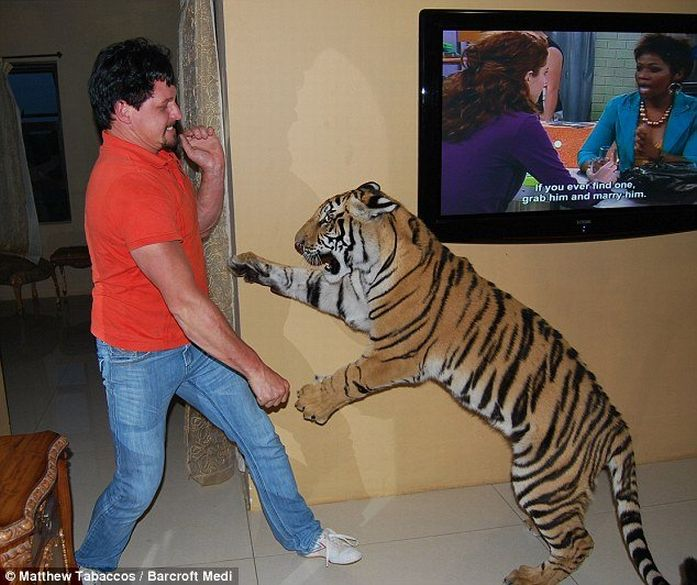 тигр как домашний питомец видео