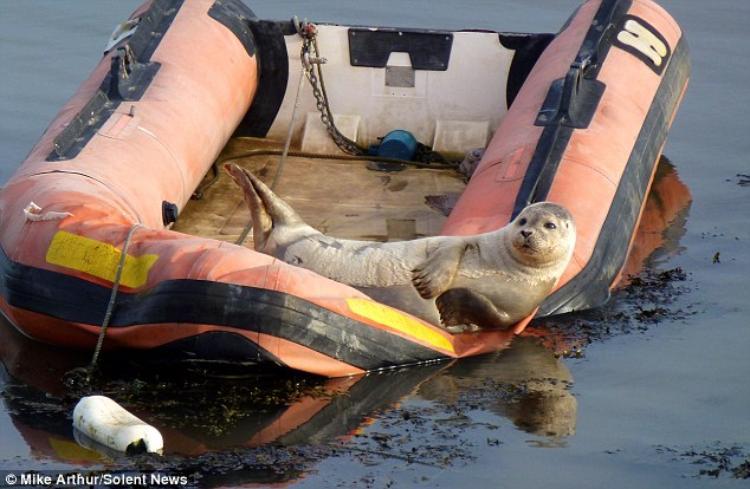 видео с морским котиком на лодке
