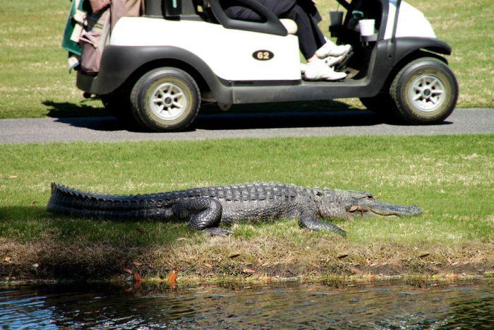 Игра в гольф бывает опасной (20 фото)