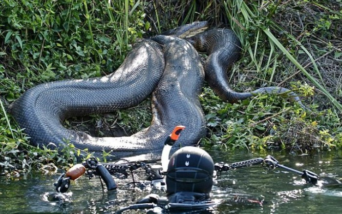 В воде с самой большой змеей в мире