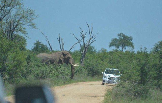 Слон перевернул автомобиль (11 фото)