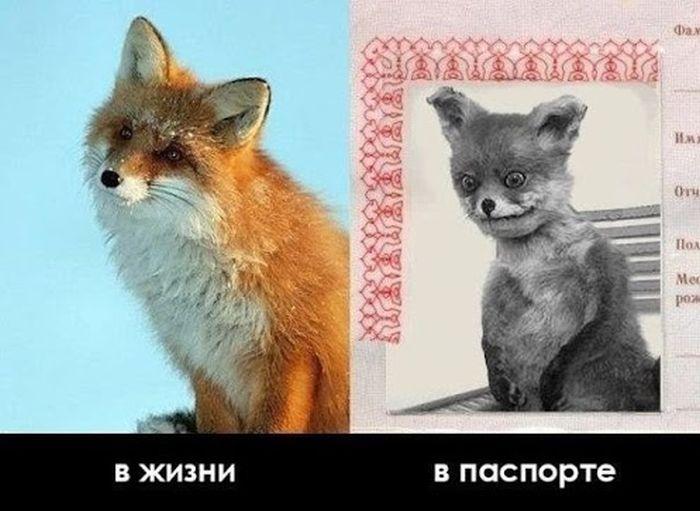 Чучело лисы стало интернет-мемом за несколько дней