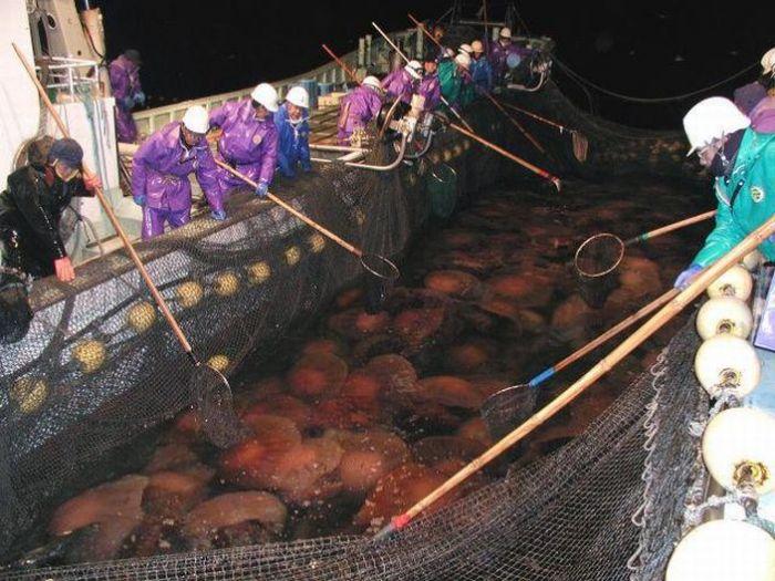 Нашествие гигантских медуз в воды Японии