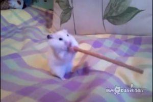 Хомяк пытается проглотить палочку