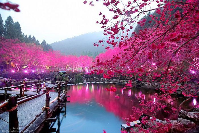 Фестиваль цветения вишни в Тайване