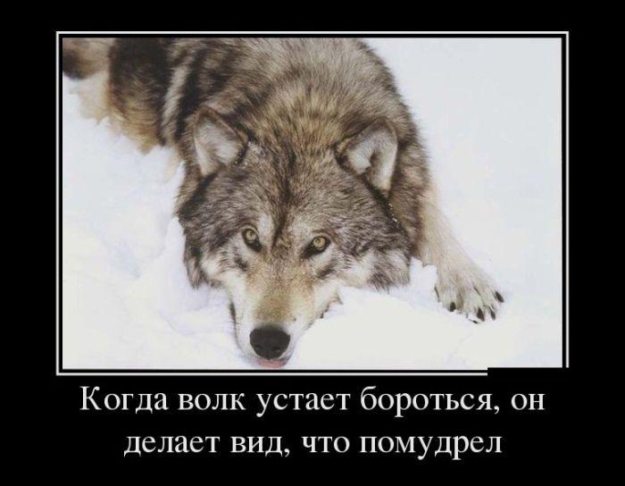 Открытки, картинка про волков с надписями со смыслом