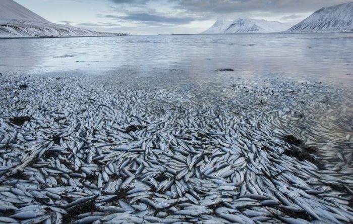 Тысячи селедок на побережье Исландии