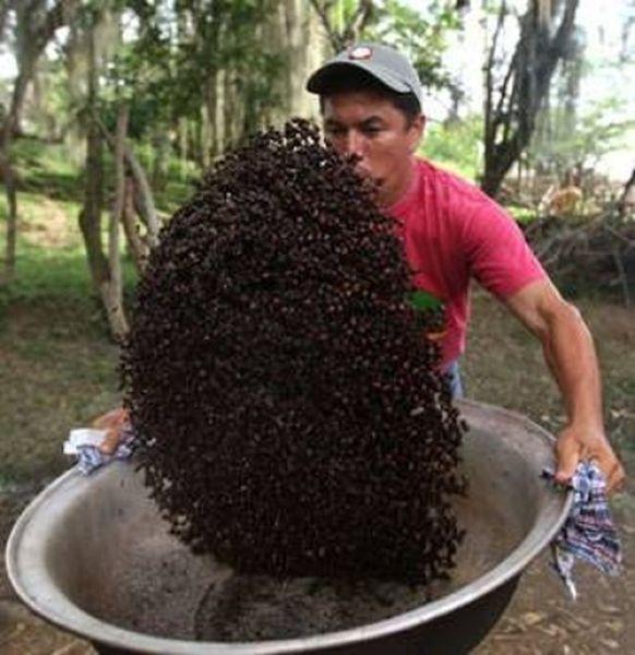 Широкозадые муравьи - деликатес для состоятельных гурманов