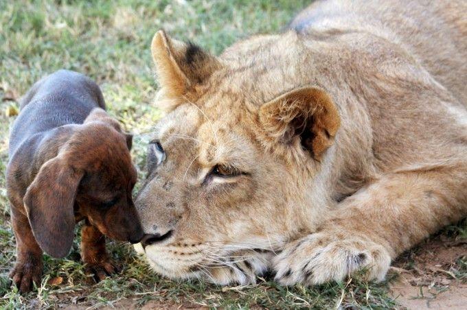 Лев и собака живут не разлей вода