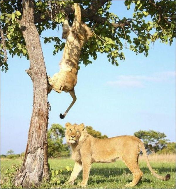 Забавная борьба львов