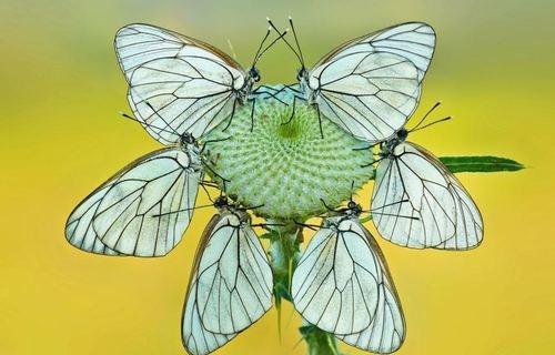 Бабочки, которые выглядят как экзотические цветы
