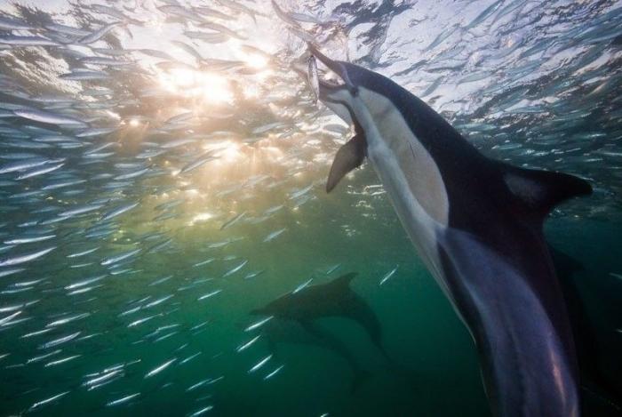 Миграция сардин в Южной Африке