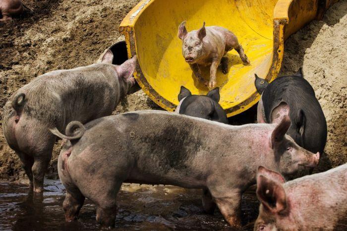 Парк развлечений для свиней