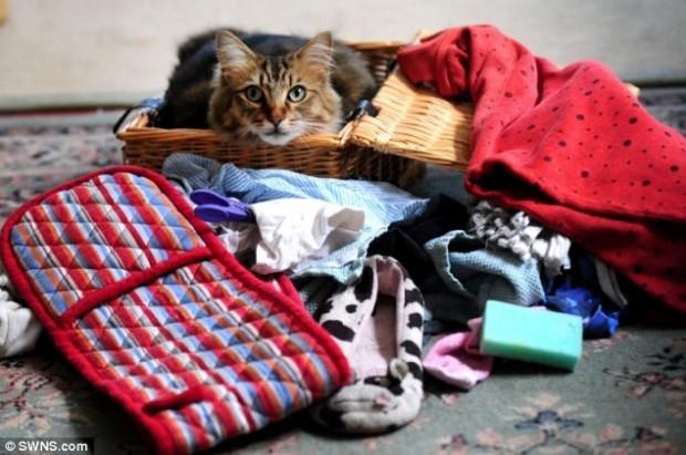 Английский кот ворует нижнее женское белье