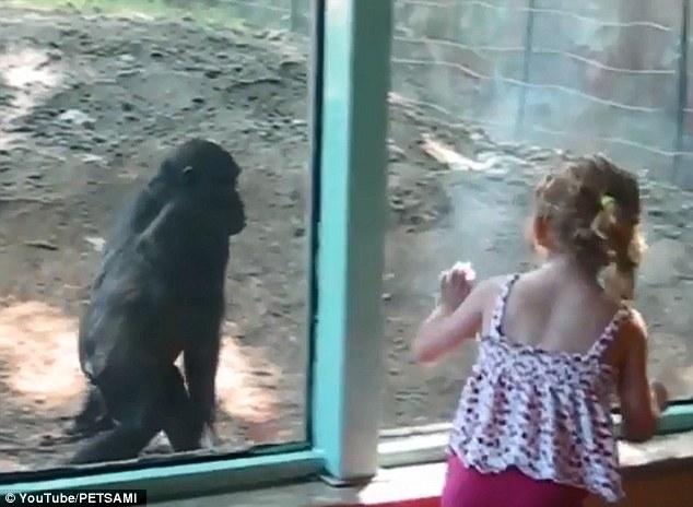 Как маленькая девочка и детеныш гориллы подружились