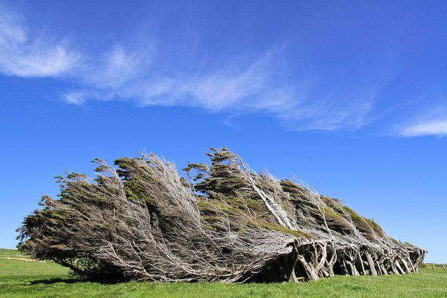 Необычные деревья Новой Зеландии