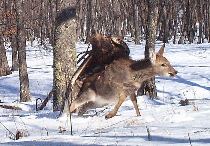 Орел напал на олененка