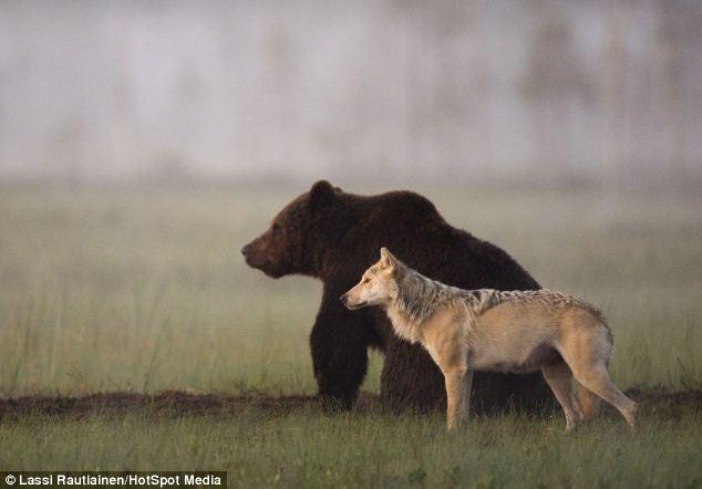 Дружба медведя с волком