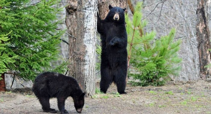 Любопытные медведи