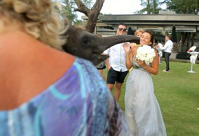 Слон поцеловал невесту