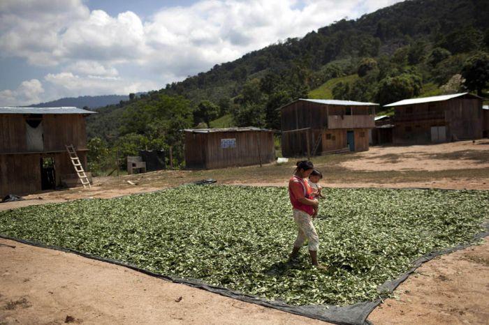 Жизнь на ферме выращивающей коки