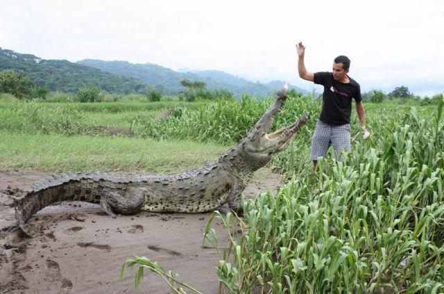 Кормление с рук крокодилов