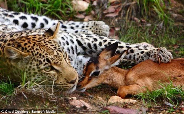 Леопард и импала