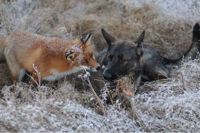 Лиса и собака