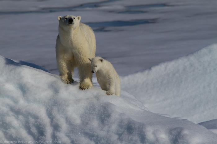 Любопытные белые медведи