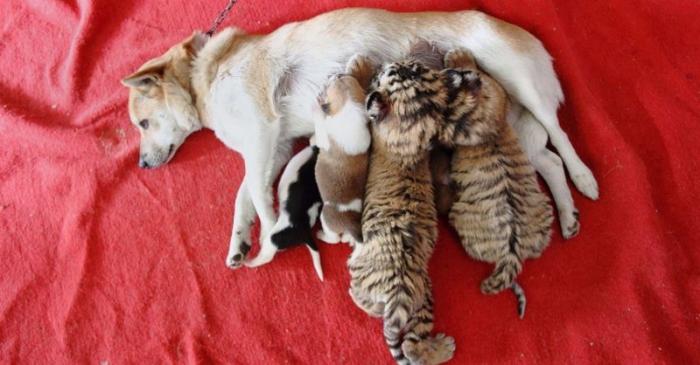 Собака стала приемной мамой для тигрят