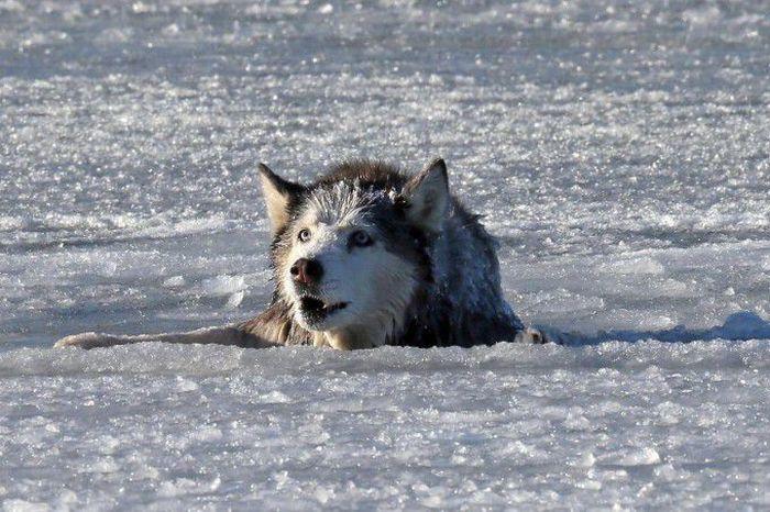 Спасение собаки из ледяного плена
