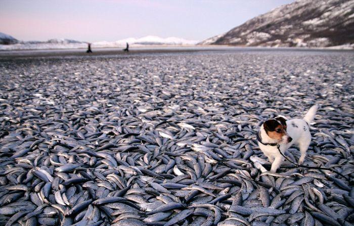 Замерзшая сельдь в Норвегии