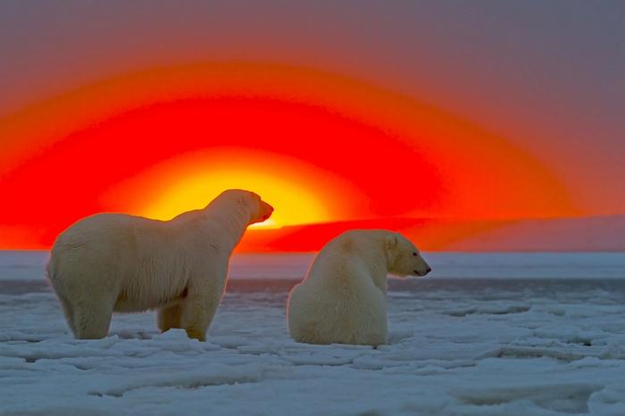 Белые медведи на Аляске