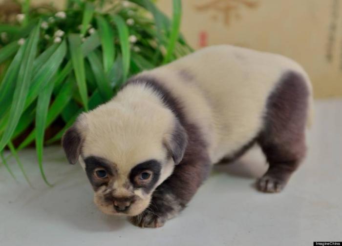 Милые щенки-панды