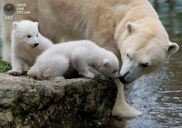 милые белые медведи