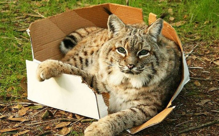 Большие кошки тоже любят коробки