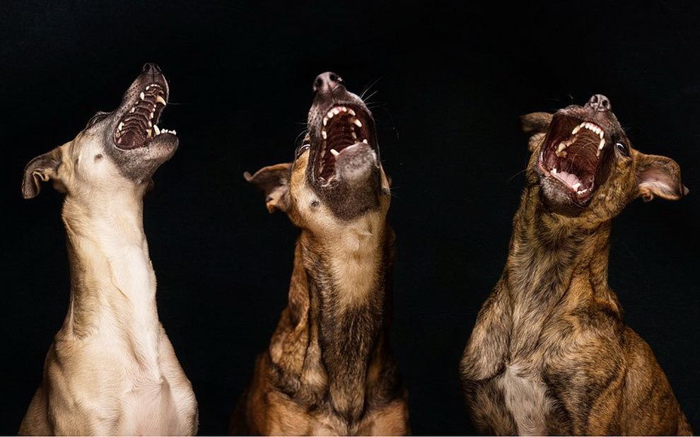 Смешная картинка лающей собаки