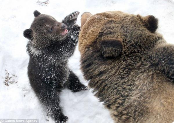 Заботливый медведь