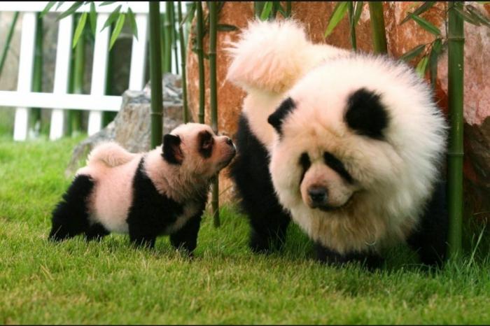 Как превратить собаку в панду?